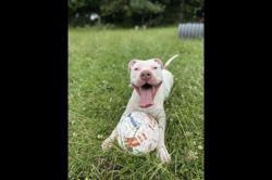Ohana, Chien dogue argentin à adopter