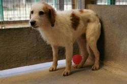 Melchior , Chien epagneul à adopter