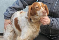 Kimo, Chien epagneul breton à adopter
