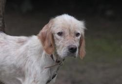 Pecan chao9551 , Chien epagneul breton à adopter