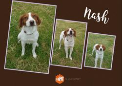 Nash, Chien epagneul breton à adopter