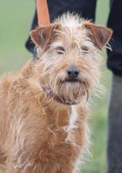 Jessy, Chien fox terrier croisé fauve de bretagne à adopter