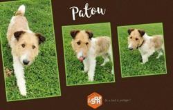 Patou, Chien fox terrier poil dur à adopter