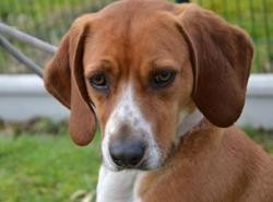 Gwenig, Chien grand anglo francais à adopter