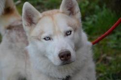 Magnum, Chien husky siberien à adopter