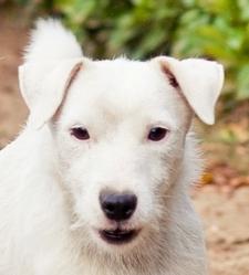 Volt chien jack russel adopter dans la r gion aquitaine - Race chien volt ...