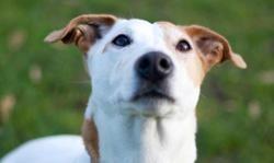 Ziggy, Chien jack russel terrier à adopter
