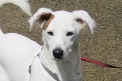 Lucky, Chien jack russel terrier à adopter