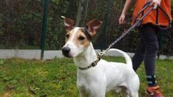 Moka, Chien jack russel terrier à adopter