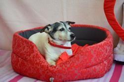 Doudou (déjà adopté), Chien jack russel terrier à adopter