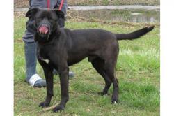 Black vaa19110, Chien labrador (retriever) à adopter