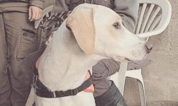 Nako (réservé), Chien labrador (retriever) à adopter