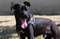 Happy, Chien labrador (retriever) à adopter