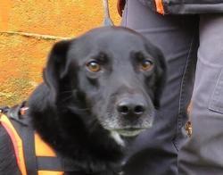 Azor, Chien labrador (retriever) à adopter
