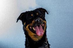 Oscar, Chien labrador (retriever) à adopter