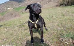 Black, Chien labrador (retriever) à adopter