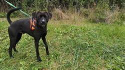 Spike vaa23112, Chien labrador (retriever) à adopter