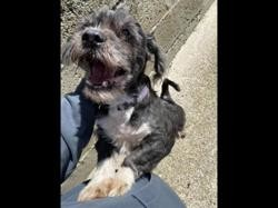 Freddy, Chien lhassa apso à adopter
