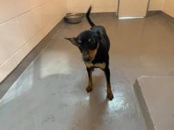 Nouky, Chien pinscher nain à adopter