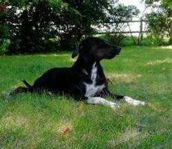 Osty, Chien pointer à adopter