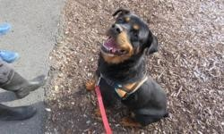 Tayser, Chien rottweiler à adopter