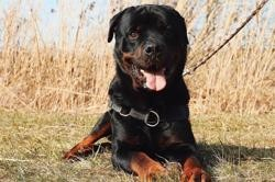 Kako vaa20383, Chien rottweiler à adopter