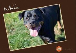 Maia (réservée), Chien rottweiler à adopter
