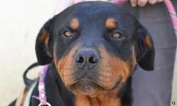 Xerus, Chien rottweiler à adopter