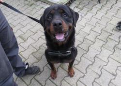 Lisko, Chien rottweiler à adopter