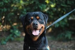 Gypsy vaa22378, Chien rottweiler à adopter