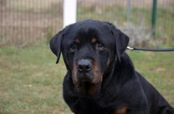 Tyson (réservé), Chien rottweiler à adopter