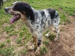 Patchwork, Chien setter anglais à adopter