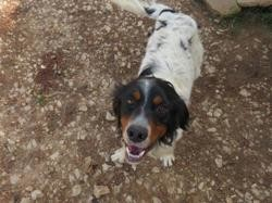 Nitro, Chien setter anglais à adopter