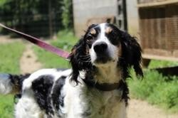 Hector, Chien setter anglais à adopter