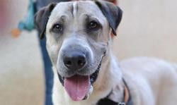 Orky, Chien shar pei à adopter