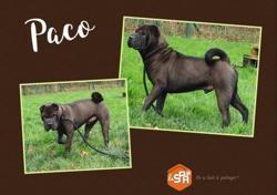 Paco, Chien shar pei à adopter
