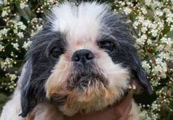 Madison, Chien shih tzu à adopter