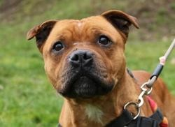 Herone oaa18092, Chien staffordshire bull terrier à adopter