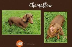 Chamalow (réservé), Chien teckel à adopter