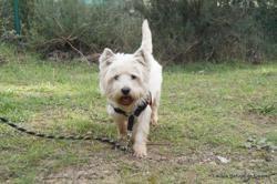 Louki, Chien west highland white terrier à adopter