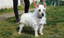 Fleurette , Chien west highland white terrier à adopter