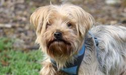 Noël, Chien yorkshire terrier à adopter