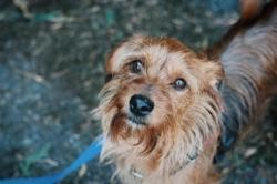 Prince vaa21774, Chien yorkshire terrier à adopter