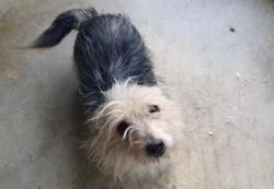 Scratch, Chien yorkshire terrier à adopter