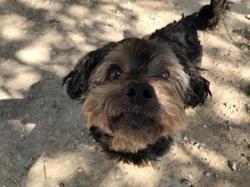 Gaspard * la canaille*, Chien yorkshire terrier à adopter