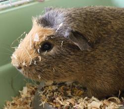 nesquick rongeur nac cochon d 39 inde adopter dans la r gion ile de france. Black Bedroom Furniture Sets. Home Design Ideas