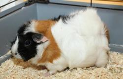 Belize ad623, Animal cochon d'inde à adopter