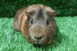 Praline, Animal cochon d'inde à adopter