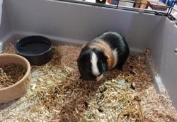 Tibouillou, Animal cochon d'inde à adopter