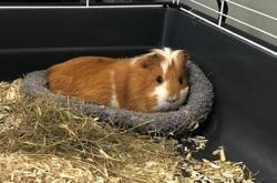 Mimi, Animal cochon d'inde à adopter